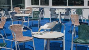 Eine Möwe isst von einem Teller, der auf einem leeren Tisch mit leeren Stühlen steht.