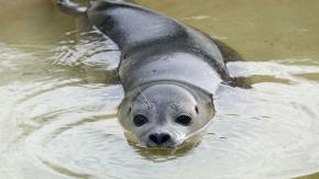 Ein Seehund in einem Wasserbecken.