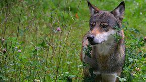 Ein Wolf auf einer Wiese