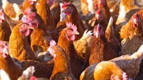 Hennen stehen in einem Stall
