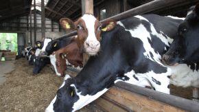 Einige Kühe in einem Stall.